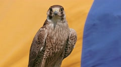 Young Peregrine falcon. Falco peregrinus. Bird of prey - stock footage