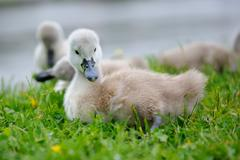 Adorable baby swan with group of siblings on fresh green grass feeding themse Stock Photos