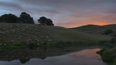 Sheep grazing on hilly pasture at dusk, Matamata, New Zealand Stock Footage