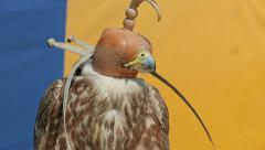 Saker falcon in a cap. Falco cherrug. Bird of prey. Falconry Stock Footage