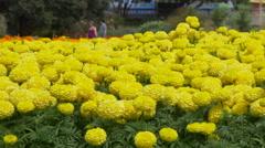 Yellow marigold flowers in garden, Napier, New Zealand Stock Footage