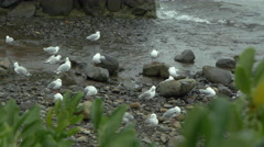 Seagulls on seacoast in Akaroa, Christchurch, New Zealand Stock Footage