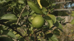Lime Tree Close Up Stock Footage