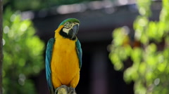 Yelow blue Macaw standing on branch Stock Footage