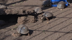 Tortoises in Fausto Llerena Breeding Center, Santa Cruz Island, Galapagos, Stock Footage