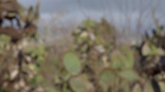 Cactus plants in Charles Darwin Research Station, Santa Cruz Island, Galapagos, - stock footage