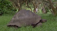 Tortoise feeding in Fausto Llerena Breeding Center, Santa Cruz Island, Stock Footage