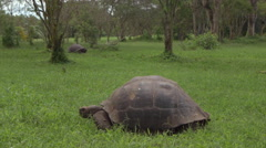 Tortoise in Fausto Llerena Breeding Center, Santa Cruz Island, Galapagos, Stock Footage