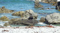 Seal relaxing on rock near coast, Wellington, New Zealand Stock Footage