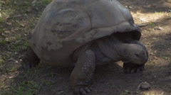 Tortoise in natural habitat, South islands, Mauritius Stock Footage
