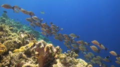 Humpback red snapper on a coral reef Stock Footage