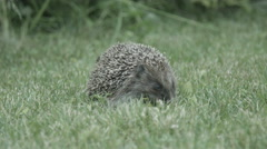 Hedgehog eating on the grass Stock Footage