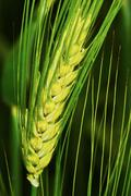 Green barley spike - stock photo