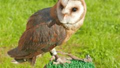 Barn owl. Tyto alba. Bird of prey Stock Footage
