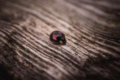 Black ladybug walking along a weathered old wooden serface Stock Photos
