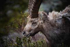 Portrait of antler Alpine Ibex, Capra ibex, with rocks in background, Stock Photos