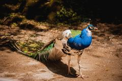 Peacock photographed from side with colourful tail in foreground Stock Photos