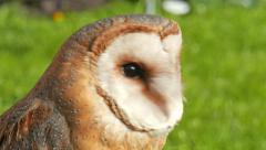 Barn owl. Tyto alba. Bird of prey Stock Footage