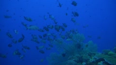 Snapper on a coral reef Stock Footage