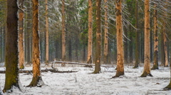 winter forest landscape in which it is snowing - stock footage