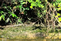 Dracaena Guianensis, Bolivian amazon. - stock photo
