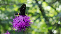 Stock Video Footage of Black Butterfly with white circles on a purple flower