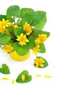 Yellow marsh marigold isolated on white Stock Photos