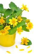 Yellow wild marsh marigold isolated on white - stock photo
