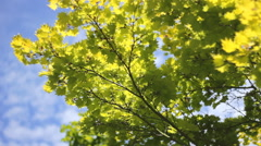 Green Yellow leafs  tree branches sky clouds  01 Stock Footage