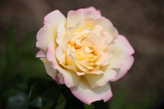 Tender light yellow rose Stock Photos