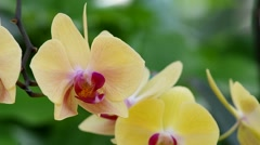 Moth orchid flower and wind Stock Footage