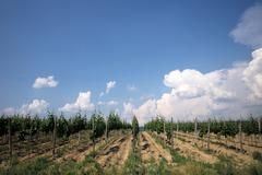 Grape field and blue sky - stock photo