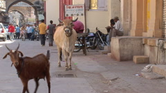Ox on a street in Porbandar, India Stock Footage