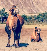 Camel in Nubra vally, Ladakh - stock photo