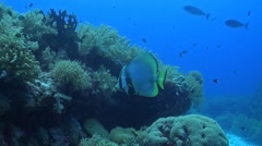 Pinnate Spadefish Stock Footage
