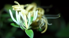 Flower Honeysuckle(Lonicera caprifolium), Italian Honeysuckle - stock footage