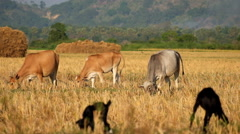 Rural asian landscape with cows and goats grazing at meadow. Myanmar (Burma)  Stock Footage