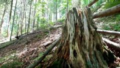 Old mossy tree stump in deep evergreen highland forest at Carpathian mountains Stock Footage