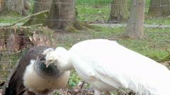 Two pheasants in love Stock Footage