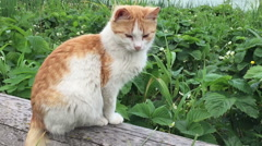 Red cat on vacation Stock Footage