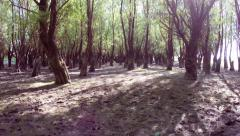 Old willow forest in motion - stock footage