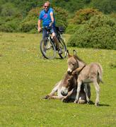 New Forest Hampshire England UK mother and baby donkey cuddling - stock photo