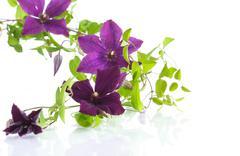 Beautiful blooming clematis Stock Photos