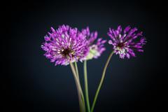 Stock Photo of Allium