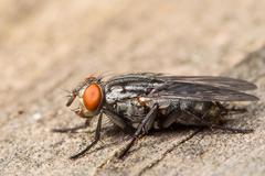 Flesh Fly Stock Photos