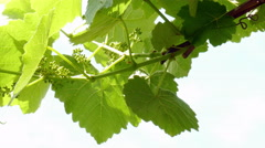 Vine leaves with unripe fruits - stock footage