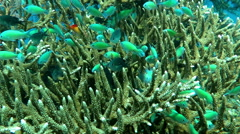 Thriving  coral reef alive with marine life and shoals of fish, Bali. - stock footage