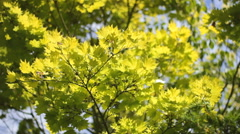 Green Yellow leafs  tree branches in Park Wood 02 Stock Footage