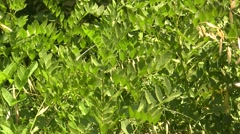 Licorice plant Stock Footage