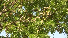 almond tree in Sicily - stock footage